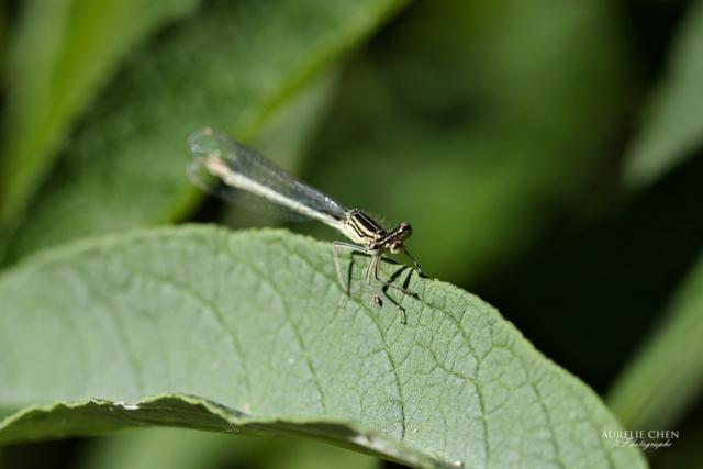 Agrion Elégant (femelle)