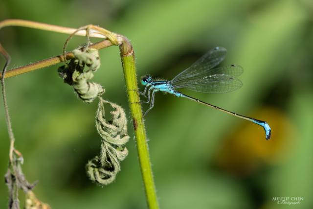 Agrion Elégant (mâle)