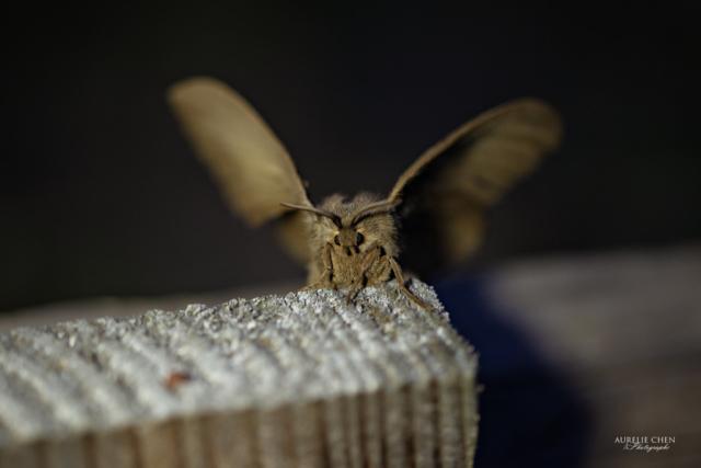 Bombyx de la Ronce, femelle. Papillon de nuit.