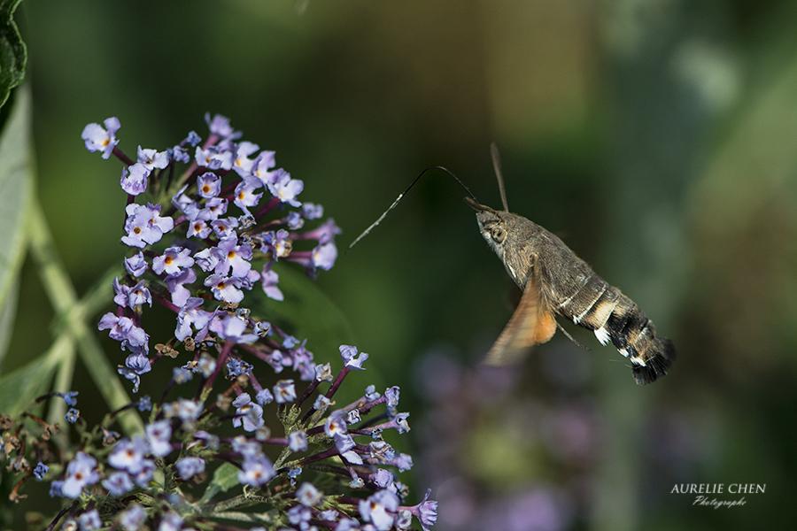 Moro-sphinx, petit papillon colibri