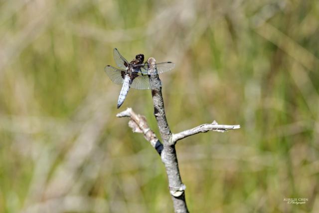 Libellule Déprimée (mâle)