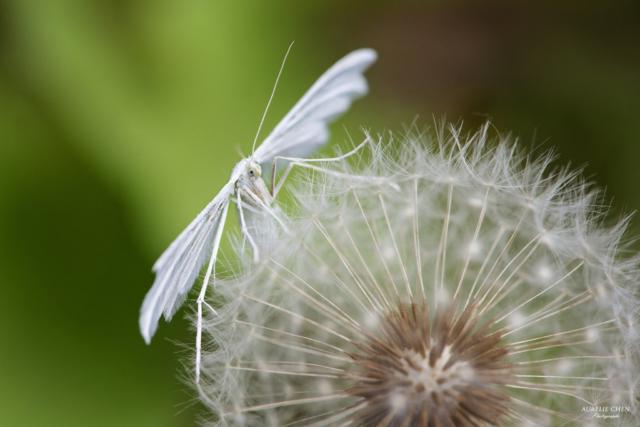 Ptérophore blanc